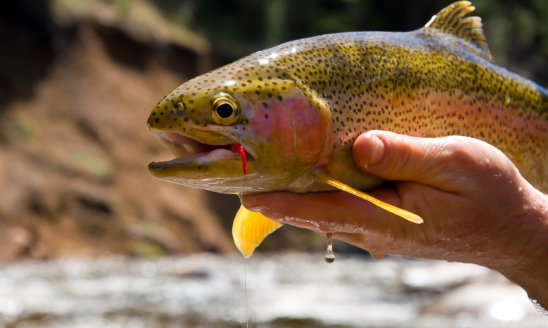 Rainbow Trout Fishing Fish Yampa River Steamboat Springs Colorado
